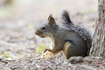 Douglas Squirrel