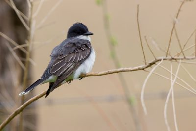 Eastern Kingbird (From Behind)