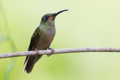 Fawn-breasted Brilliant (Juv)