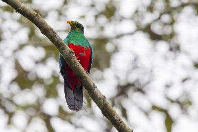Golden-headed Quetzal - Tandayapa Lodge, Ecuador