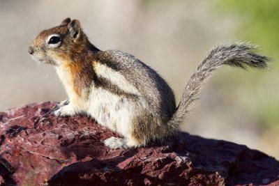 Golden-mantled Groundsquirrel - Glacier National Park, Montana