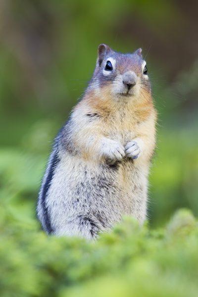 Golden-mantled Groundsquirrel (Standing)