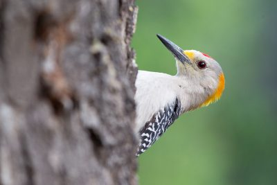 Goldern-fronted Woodpecker4