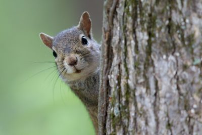 Gray Squirrel