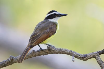 Great Kiskadee.