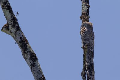 Greater Potoo