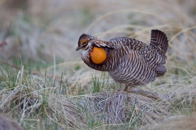 Greater Prairie Chicken1