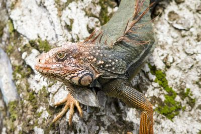 Green Iguana (Male Profile)