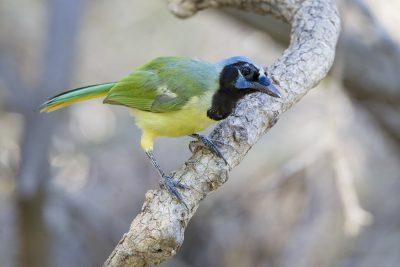 Green Jay4