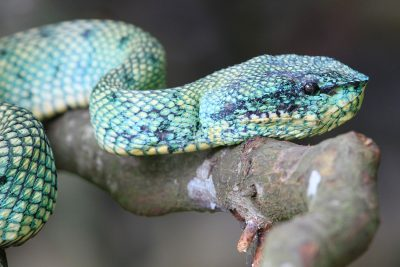 Green Pit Viper - Bako National Park