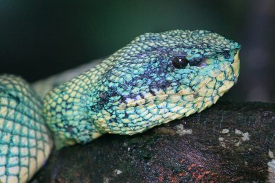 Green Pit Viper (Female) - Bako National Park  (3)