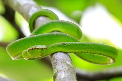 Green Pit Viper (Male) - Bako National Park (2)