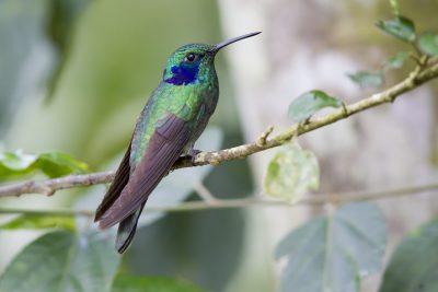 Green Violet-ear - Tandayapa Lodge, Ecuador