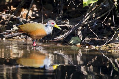 Grey-fronted Woodrail