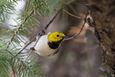 Hermit Warbler (Male)
