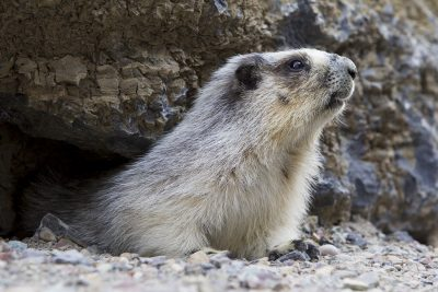 Hoary Marmot (Profile)