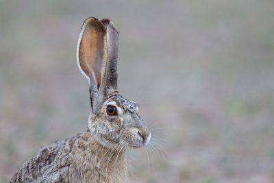 Jack Rabbit (Profile)