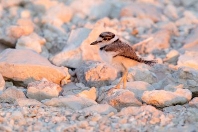 Killdeer (Baby)