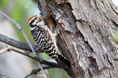 Ladder-backed Woodpecker1
