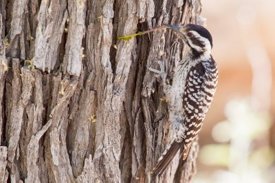 Ladderbacked Woodpecker (Female)