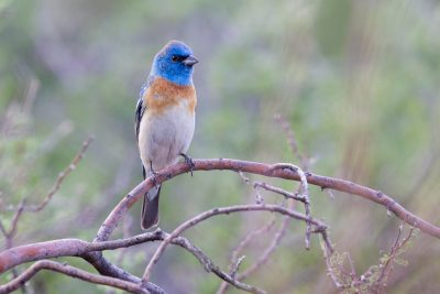 Lazuli Bunting (Male, Front)