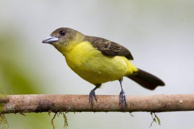 Lemon-rumped Tanager (Female) - Tandayapa Lodge, Ecuador