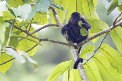 Mantled Howler Monkey (Young Male)