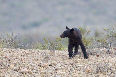 Mexican Black Bear