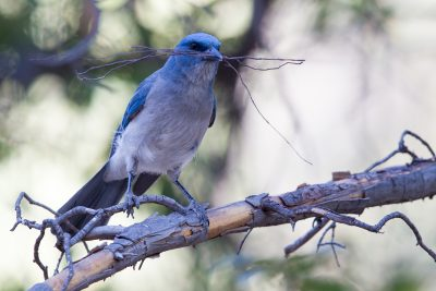 Mexican Jay (With nest material)