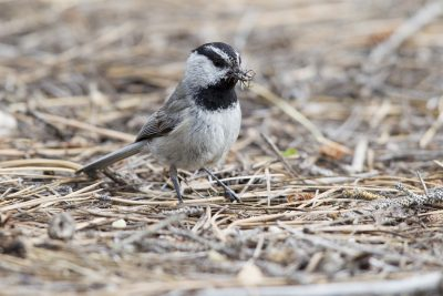 Mountain Chickadee (With Food)