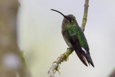 Mountain Velvetbreast (Female) - Tandayapa Lodge, Ecuador