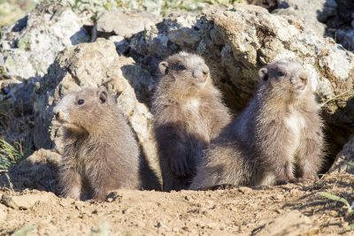 Olympic Marmot Babies