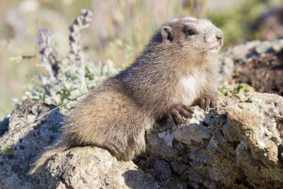 Olympic Marmot (Teenager)