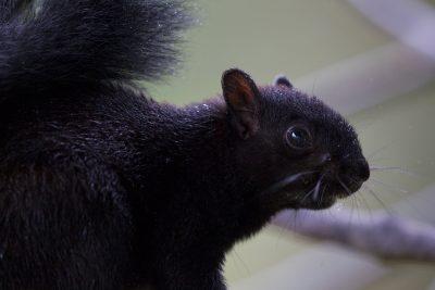 Panamanian Tree Squirrel