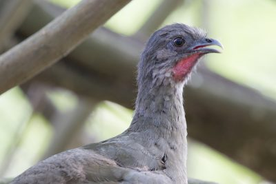 Plain Chachalaca (Profile)