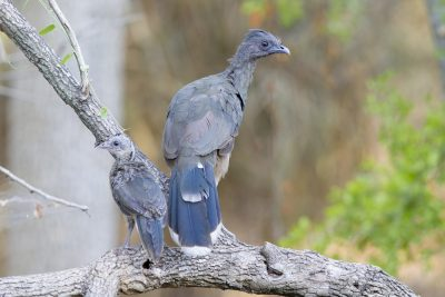 Plain Chachalaca with Baby