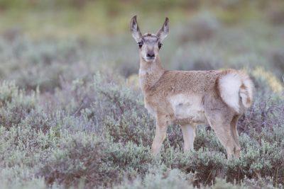 Pronghorn Antelope (Baby)
