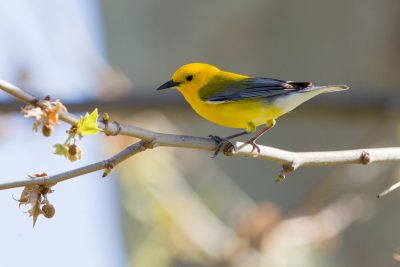 Prothonotary Warbler (Male)