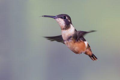 Purple-throated Woodstar (Female) - Tandayapa Lodge, Ecuador