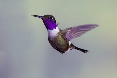 Purple-throated Woodstar (Male) - Tandayapa Lodge, Ecuador