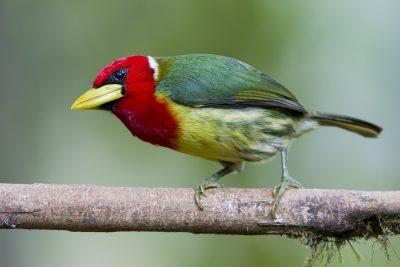 Red-headed Barbet (Male) - Tandayapa Lodge, Ecuador