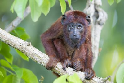 Red Howler Monkey (Baby)