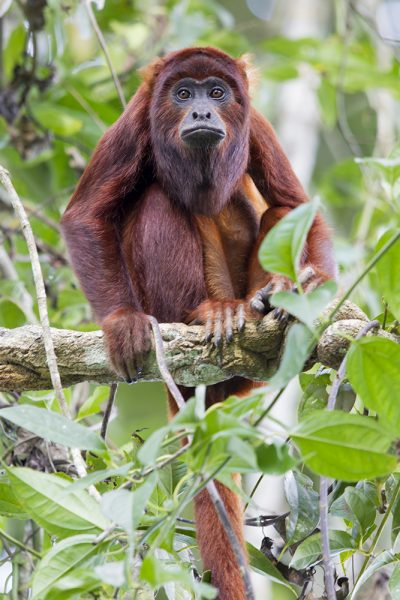 Red Howler Monkey1