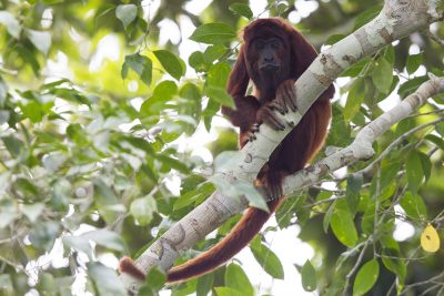 Red Howler Monkey2