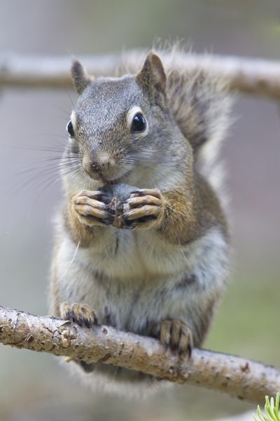 Red Squirrel (Eating)