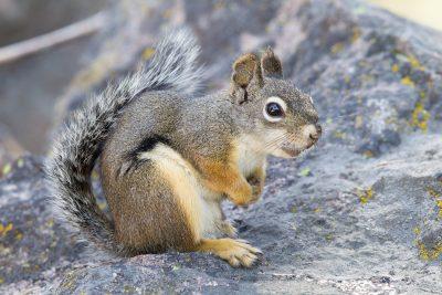 Red Squirrel - Lassen Volcanic