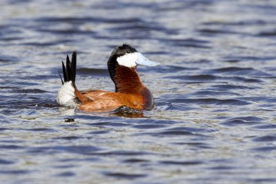 Ruddy Duck (Male Display)