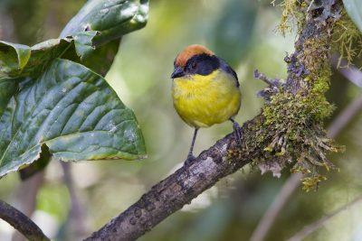Rufous-naped Brushfinch