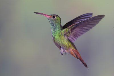 Rufous-tailed Hummingbird (Male in flight) - Tandayapa Lodge, Ecuador