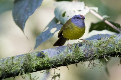 Russet-crowned Warbler - Tandayapa Lodge, Ecuador